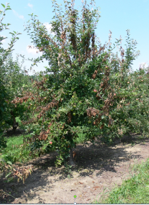 Figure 1. Apple tree severely infected with fire blight during 2014.