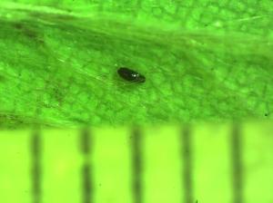 aphidegg2 0421