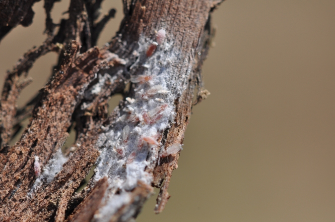 Adult male mealybugs