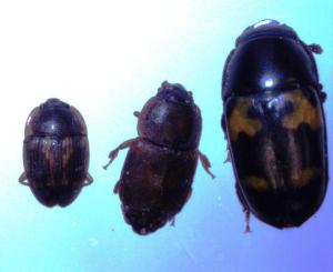 Figure 2. Sap beetle adults. (photo credit D.  Muller0