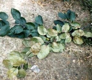 Silver leaf disease
