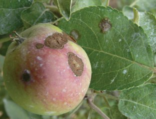 apples_apple-scab_06_zoom