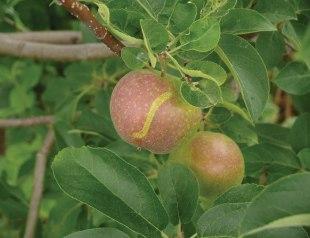 Fig 5. European apple sawfly damage causes a ribbon-like scar on fruit.
