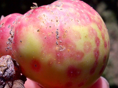 Fig 6. San Jose scale on apple causes grey patch surrounded by a red halo. Yellow crawlers can be seen in this picture.