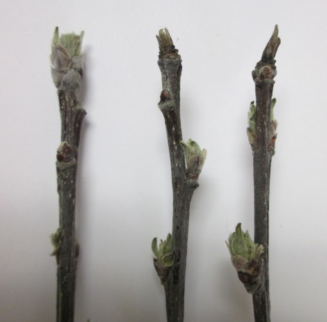 Figure 2. Healthy (left) and powdery mildew infected (right) apple buds.