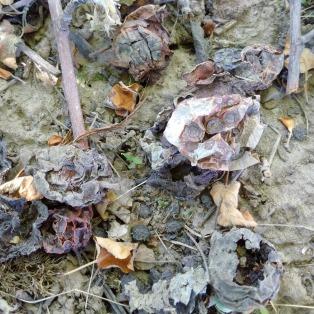 Figure 1. Overwintering apple scab in leaf litter.