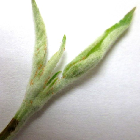 Figure 3b. Apple leafcurling midge eggs can be found near the folds or margins of the youngest unfurled leaves of shoot tips.