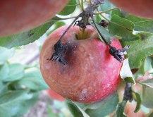 Figure 3. Black rot on apple