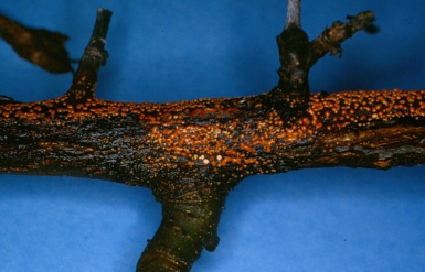Figure 3. Nectria canker can look similar to fire blight but produces bright orange fruiting bodies.