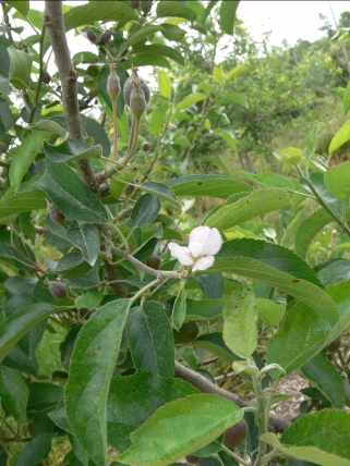 Secondary bloom_Celetti