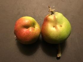 Figure 11. Tarnished plant bug injury on apple.