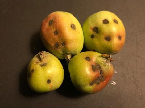 Figure 3. Apple scab on developing fruitlets.
