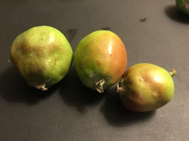 Figure 10. Mullein bug injury on apple.