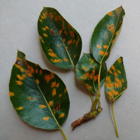 Figure 2. Early cedar apple rust (on pear leaves) appear as yellow-orange lesions on the upper surface of leaves.