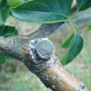 Figure 4. Woolly apple aphid colonies are commonly found around pruning cuts and cankers.