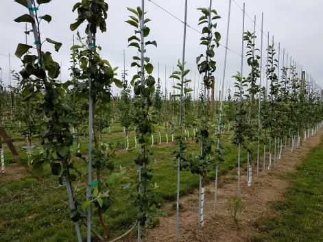 Figure 1: 'Honeycrisp' apples planted on G 935 trained to 3 leaders at Tom Rasch and Sons, LLC.