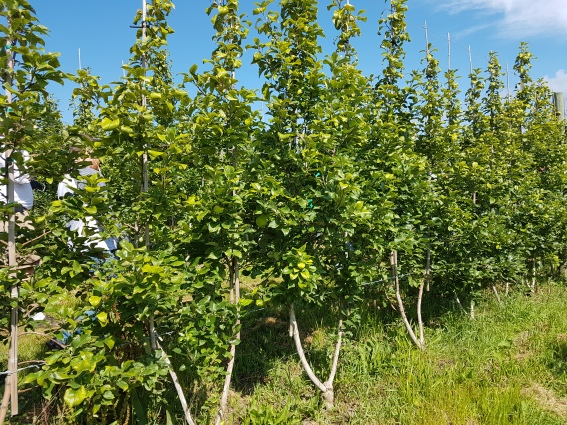 Figure 3: 'Honeycrisp' planted in a bi-axis system formed from two buds grafted onto one rootstock at New Leaf Orchards.