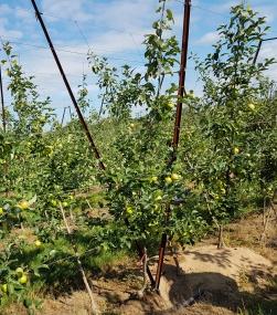 Figure 4: 'Honeycrisp' planted on a V-trellis at Riveridge Land Company.