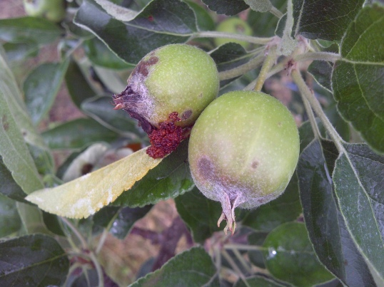 Figure 7. Small entry hole on side of fruit with brown frass caused by codling moth.