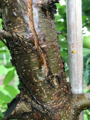 Figure 1. Amber ooze dripping from developing fire blight canker.
