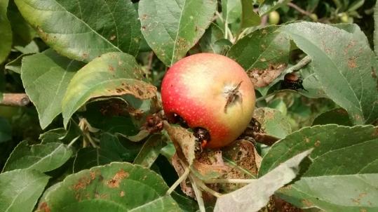 Figure 10. Japanese beetle feeding on fruit. Photo: Margaret Appleby, consultant