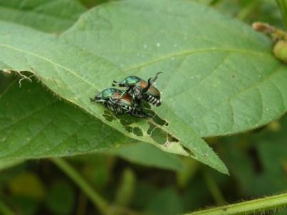 Figure 9. Japanese beetle feeding skeletonize apple leaves.