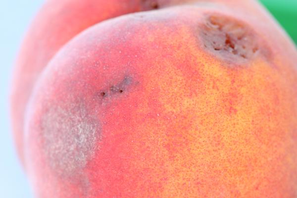 SWD in peach 2 Acheampong