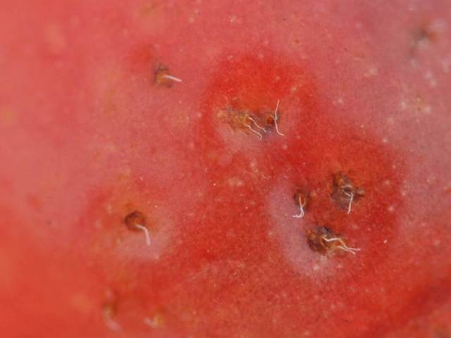tart cherry SWD breathing tubes closeup