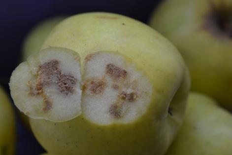 Figure 2b. Brown corky tissue under the skin of apple. (Hannah Fraser, OMAFRA)
